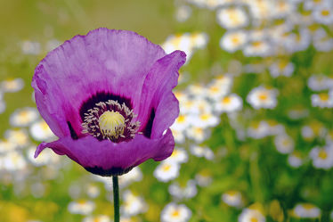 Bild mit Blumen, Lila, Blau, Mohn, Makro, blüte, nahaufnahme, Kamille