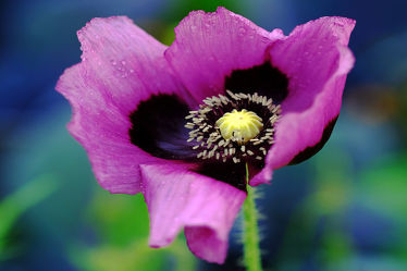 Bild mit Gelb, Pflanzen, Blumen, Blumen, Lila, Blau, Mohn, Makro, blüte, nahaufnahme, Kern