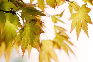 Bild mit Herbst, Herbst, Blätter, Ahorn