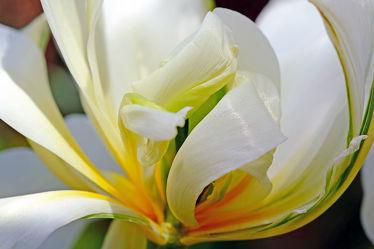 Bild mit Blumen, Frühling, Makro, Tulpen, nahaufnahme, frühjahr, Gefüllte