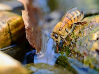 Bild mit Wasser, Frühling, Bienen, Nahrung, frühjahr, Biene, Feuchtigkeit, Sammlung, Honig, Honigbiene