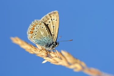 Bild mit Gräser, Himmel, Insekten, Blau, Braun, Schmetterlinge, Schmetterlinge, Makro, nahaufnahme, Tagfalter, Halme, Geißkleebläuling, Bläulinge, Plebeius_argus