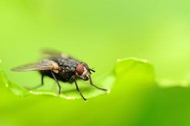 Bild mit Augen, Grün, Grün, Rot, Insekten, Schwarz, Fliegen, Blätter, Makro, Blatt, grau, Zweiflügler, Graue_Fleischfliege, Sarcophaga_carnaria