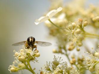 Bild mit Pflanzen, Blumen, Bienen, Blume, Pflanze, Nahrung, Pollen, Futter, Brut, Nachwuchs, Kletterhortensie, Honig, Honigbiene