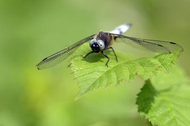 Bild mit Augen, Makro, Männchen, Libellen, Libellula depressa, Plattbauch, Flügeln, Mund, Segellibellen, Odonata, Libelle
