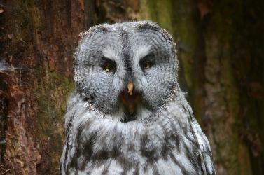 Bild mit Vögel,Vögel,Tierwelt,Nachtvogel,Waldkauz,Nachtaktive