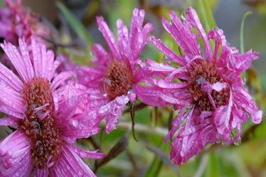 Herbstastern im Regen