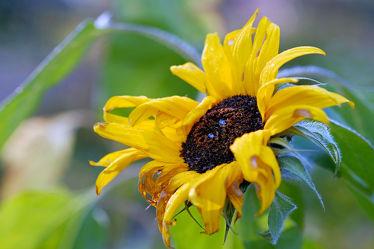 Bild mit Herbst,Sonnenblume,Spätherbst,Verblüht