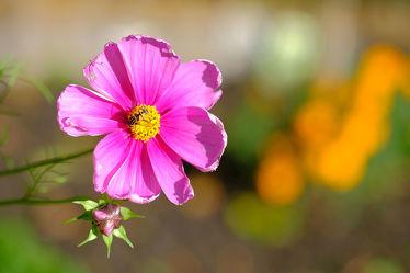 Bild mit Grün, Blumen, Rosa, Herbst, cosmea, Blüten, Herbststimmung, Stimmung