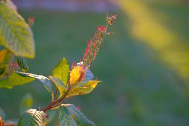 Bild mit Gelb, Grün, Parks, Rot, Herbst, Blätter, Gegenlicht, Strauch, garten, Sonnenlicht, Samen, Busch, Fruchtstand, Zimterle