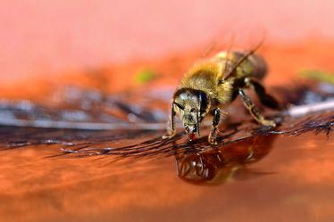 Bild mit Wasser, Frühling, Insekten, Bienen, Trinken, Sonne, Licht, Wärme, Wasserbenetzt