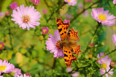 Bild mit Herbst, Insekten, Astern, Schmetterlinge, Schmetterling, Tagfalter, Blumenbeet, Spätsommer, C_Falter