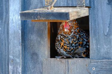 Bild mit Tiere,Haustiere,Vögel,Huhn,Nutztiere,Holzhaus,Luke,Öffnung,Henne,Hühnerhaus