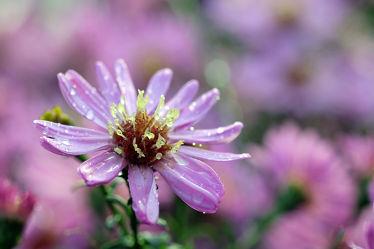 Bild mit Gelb, Blumen, Lila, Herbst, Blau, Astern, Makro, Regentropfen, nahaufnahme, Herbstastern