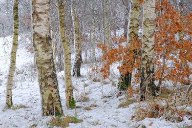 Bild mit Winter, Schnee, Birken, Birke, Winterzeit, Buchenblätter
