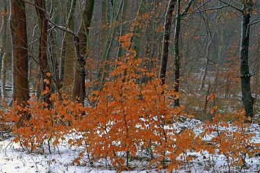 Bild mit Bäume, Winter, Schnee, Weiß, Braun, Wald, Regentropfen, Tropfen, Winterzeit, Regen, Buchentriebe, Finster