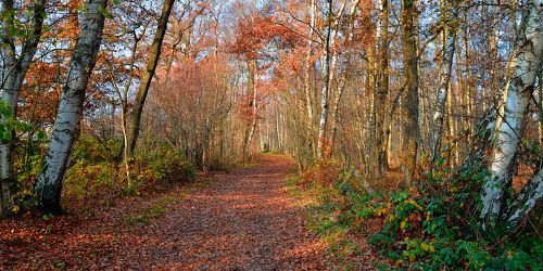 Bild mit Natur, Bäume, Wälder, Birken, Wege, Wald, Baum, Birke, Weg, Waldweg, Blätter, Waldrand, Birkenwanderweg, Wandern, waldwege