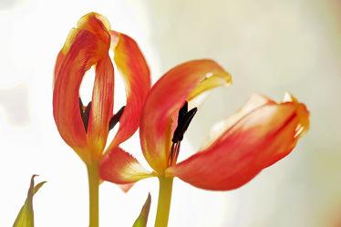 Bild mit Grün, Frühling, Tulpe, Bunt, farbig, Ausspannen, Dekoration, Verblüht