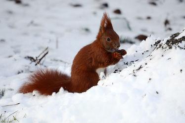 Bild mit Tiere, Säugetiere, Winter, Schnee, Tier, Eichhörnchen, Winterzeit, Futter