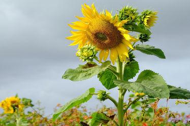 Bild mit Gelb, Grün, Himmel, Blumen, Herbst, Sonnenblume, Froschperspektive, Mehrblütige, ökofeld