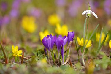 Bild mit Blumen, Frühling, Krokusse, Schneeglöckchen, Frühlingsgarten, Winterlinge, Sprösslinge