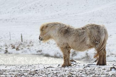 Bild mit Tiere, Säugetiere, Natur, Winter, Schnee, Pferde, Tier, Kinderzimmer, Pferd, Tierfotografie, Animal, Wildlife, Umwelt, Tierbild, Tierbilder, Tierfoto