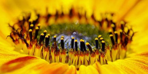 Bild mit Blumen, Makro, Sonnenblume, nahaufnahme, Kern, Mitte