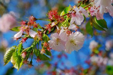 Bild mit Bäume, Frühling, Frühling, Sträucher, Blätter, Makro, Blüten, nahaufnahme, Kirschblüte, Japanische_Zierkirsche, Frühlingsidylle