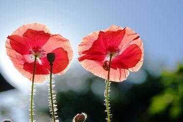 Bild mit Himmel, Frühling, Frühling, Mohn, Sonne, Mohnblume, Mohnfeld, Mohnblüte, Licht, Mohnblumen, Sonnenlicht, Wind, helligkeit, mohnblüten