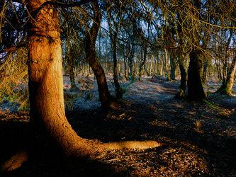 Bild mit Bäume, Nadelbäume, Wälder, Sonnenuntergang, Wald, Baum, Nadelwald, Laubwälder, Hochmoor, Abendlicht, Abendlicht, Unterholz, Dickicht