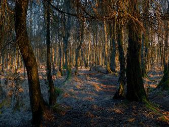 Bild mit Bäume, Nadelbäume, Wälder, Wald, Baum, Nadelwald, Laubwälder, Hochmoor, Abendlicht, Unterholz, Dickicht