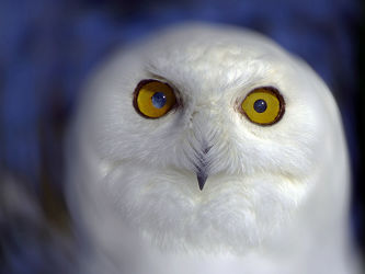 Bild mit Augen, Weiß, Vögel, Makro, Schneeeule, nahaufnahme, Sonnenlicht, Schatten, Nachtvogel