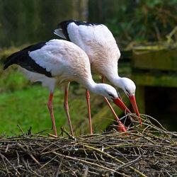 Bild mit Tiere,Vögel,Störche,Tier,Storch,Äste,Paar,Storchenhorst,Nest,Bauen,Bau
