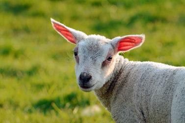 Bild mit Frühling, Gegenlicht, Ostern, Wiesen, Weide, Lamm, Lämmlein, Osterlamm