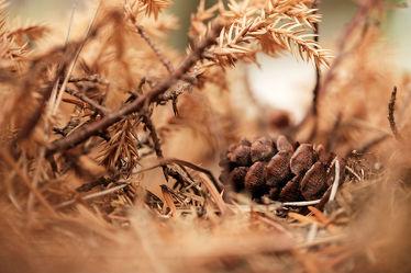 Bild mit Parks, Zapfen, Fichten, Tannen, Nadelwald, Waldboden, garten, Wärme, Hitze, Zweige, Dürre, Trockenheit, Trockenheit, Nadelgehölze