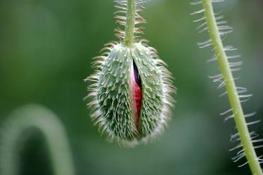 Bild mit Pflanzen, Blumen, Frühling, Herbst, Sommer, Makro, Mohnblüte, nahaufnahme, Knospe, Stengel, Blüteblätter