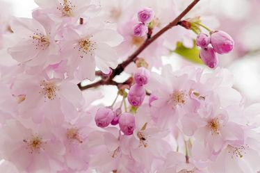 Bild mit Bäume,Parks,Frühling,Sträucher,Blüten,Tapete,garten,frühjahr,Ausspannen,Dezent,Zartheit,Wandbehang,Zärtlichkeit,Zierkirsche,japanisch