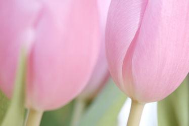 Bild mit Blumen, Rosa, Frühling, Blume, Tulpen, Blüten, frühjahr, zwei, Idylle, Paar, zart, Dezent, Zärtlichkeit, Farbidylle, Kelche