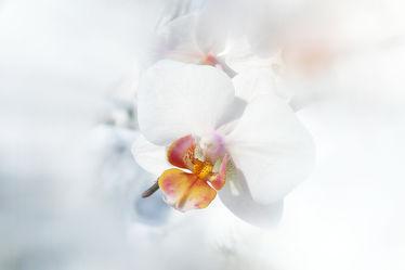 Bild mit Blume, Orchidee, Makro, nahaufnahme, edel, weiße, orchideenblüte