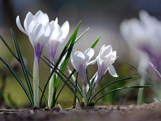 Bild mit Natur, Blumen, Frühling, Blume, weiss, Krokusse, Krokus, krokusblüte