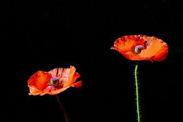 Bild mit Mohn, Mohnblume, Makro, Mohnblüte, Mohnblumen, nahaufnahme, Sonnenlicht, Ausspannen, Freistellung