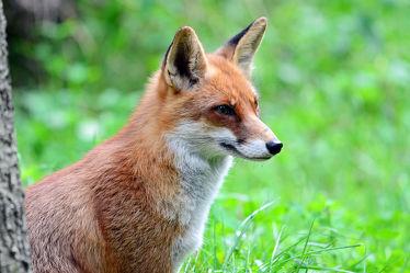 Bild mit Tiere, Tier, Säugetier, Tierwelt, Jagdtrieb, Fuchs, Beutejagd, Lauer, Füchse