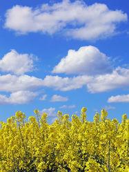 Bild mit Gelb, Himmel, Wolken, Blau, Sommer, Raps, weiss