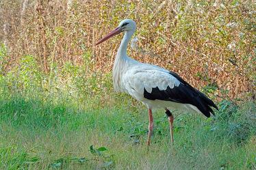 Bild mit Vögel, Felder, Wiesen, Feuchtgebiete, Zugvögel, Futtersuche, Weißstorch