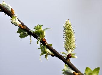 Bild mit Himmel, Weiß, Frühling, Sträucher, Rotbraun, Braun, Strauch, frühjahr, Weide, Kätzchen, Frühlingsboten, Weidekätzchen, Graublauweiß