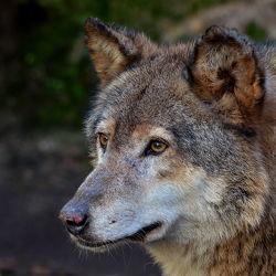 Bild mit Tiere, Braun, Tier, Tierwelt, Braunweiß, Wolf, Wölfe, Spürend, Wittern, Großaufnahme, Spähend, Geruch, rudel