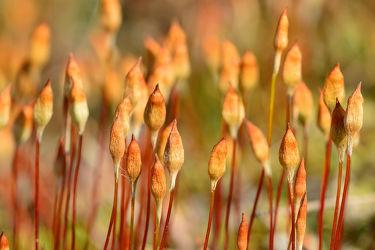Bild mit Orange, Rot, Moor, Hochmoor, Moos, Blütenknospen, Blütenstengel, Moosblüte, Trockengebiete