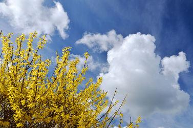 Bild mit Gelb, Himmel, Wolken, Weiß, Blau, Forsythie, frühlingsblüher