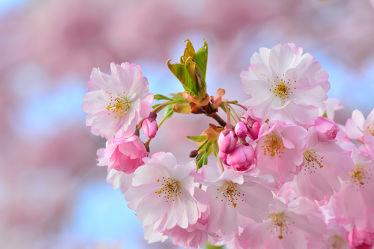 Bild mit Grün, Himmel, Weiß, Rosa, Blätter, Blüten, Stengel, Zierkirsche, Zierkirsche, Japanische, Blütenknospe, Staubstengel