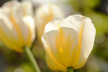 Bild mit Gelb, Gelb, Blumen, Weiß, Weiß, Parks, Frühling, Sonne, Tulpen, Gegenlicht, Licht, garten, garten, frühjahr, Morgensonnenschein